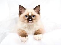Hübsches Dichtungspunkt Ragdoll Kätzchen auf weißem Gewebe Lizenzfreie Stockfotos