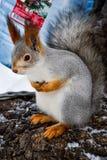 Hübsches Eichhörnchen kam zu essen lizenzfreie stockfotografie