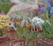 Hübsches Glöckchenblumenwachsen in einem Topf auf einem Rockery Stockfotografie
