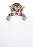 Hübsches Kätzchen, das aus einem leeren Zeichen heraus späht Lizenzfreie Stockfotografie