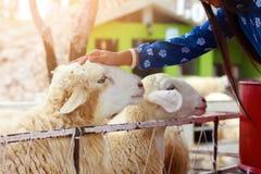 Hübsches Mädchen ist zu den Tieren, Mädchen haben Gnade zu den Schafen nett stockbilder