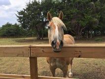Hübsches Palomino-Pferd Stockfotos