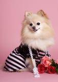 Hübsches Pomeranian im Rosa Stockfotos