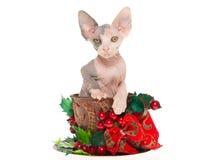 Hübsches Sphynx Kätzchen innerhalb des Weihnachtscup Stockfotos