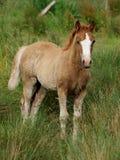 Hübsches Waliser-Fohlen Stockfoto