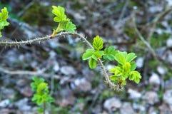 Hüften, Zweige, Blätter, Frühling, Blüte, Knospen schwellen, Briar, Hagebutte stockfoto