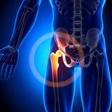 Hüftgelenk/Schenkelbein - Anatomie-Knochen Lizenzfreies Stockbild