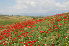 Hügel abgedeckt mit Mohnblumen und camomiles Stockfotografie
