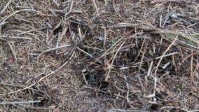 Hügel der hölzernen Ameisen in Österreich Ameisen, die herum mit Nadeln und kleinen Steinen gehen stock video footage