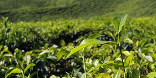 Hügel der Teeplantage in Malaysia stockfotos