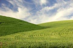 Hügel des jungen Weizens Stockfotos