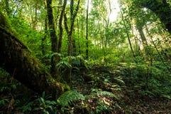Hügel-Immergrün-Wald Lizenzfreies Stockbild
