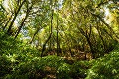 Hügel-Immergrün-Wald Stockfotos