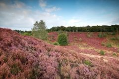 Hügel mit blühender Heide stockfotos