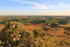 Hügel von Palouse mit wilden Rosen Lizenzfreie Stockbilder