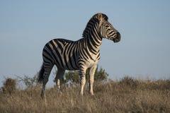 Hügel-Zebra lizenzfreie stockfotografie