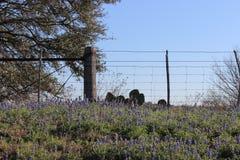 Hügelland-Blaumützen Stockbilder