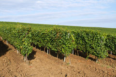 Hügelrebplantage Lizenzfreies Stockfoto