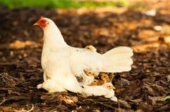 Hühner stockbild
