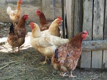 Hühner Lizenzfreie Stockbilder