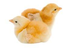 Hühner Stockfotografie