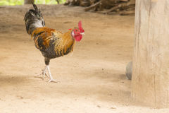 Hühner Lizenzfreie Stockfotografie