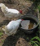 Hühner stockbilder