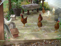 Hühner auf dem Portal Stockfotos
