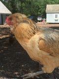 Hühner auf einem Bauernhof Stockbilder