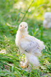 Hühner auf einem Gras Stockfotos