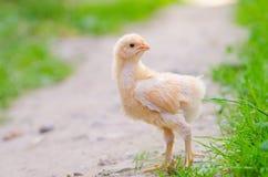 Hühner auf einem Gras Stockfotografie