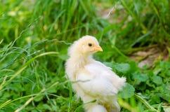 Hühner auf einem Gras Stockbild
