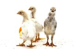 Hühner Lizenzfreie Stockfotos