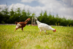 Hühner auf Gras Stockfotografie