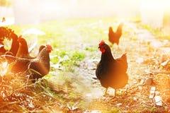 Hühner auf Hof Lizenzfreies Stockfoto