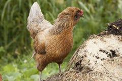 Hühner auf Kompost stockbilder