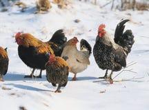 Hühner auf Schnee Stockbild