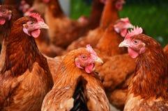 Hühner auf traditioneller Freilandgeflügelfarm Stockbilder