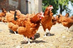Hühner auf traditioneller Freilandgeflügelfarm lizenzfreie stockbilder