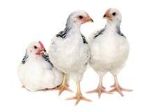 Hühner auf weißem Hintergrund stockfotografie