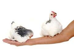 Hühner, die auf Arm sitzen lizenzfreie stockfotografie