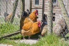 Hühner, die ein Gatter bereitstehen Stockfotografie