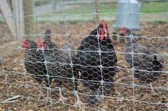 Hühner in einem Korb lizenzfreies stockfoto