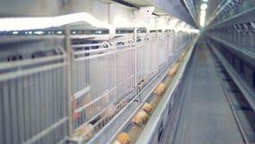 Hühner essen und trinken an ihren Käfigen stock video