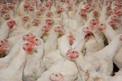 Hühner. Geflügelfarm Lizenzfreies Stockbild