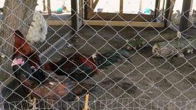Hühner gehen hinter Gittern in das Hühnerhaus auf Hof stock video