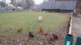 Hühner graben die Fallblätter auf der Suche nach Lebensmittel am Herbstmorgen stock footage