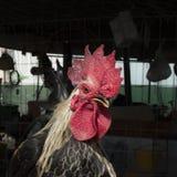 Hühner, Hennen, ein Nahaufnahmegesicht Lizenzfreie Stockbilder