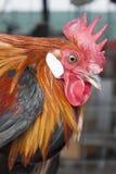 Hühner, Hennen, ein Nahaufnahmegesicht Stockfotos