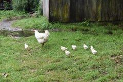 Hühner im Bauernhof-Yard Stockbild